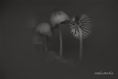 Happy together (roelivtil) Tags: blackwhite monochrome monochromebokehthursday mushrooms mycena zwartwit 7dwf