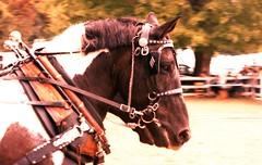 Albion Fair (rentavet) Tags: velvia100f 200asa analog nikkormatel albionpafair xpro drafthorses