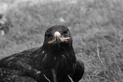 Roofvogel (wimjee) Tags: nikond7200 nikon saarburg duitsland germany nikkor55200mf456gvrii greifvogelpark roofvogel vogelshow bird facebookalbum silverefexpro2 zwartwit blackwhite selectivecolor