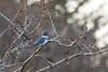 Kingfisher (wyrickodiak_9) Tags: kodiak alaska bird wildlife kingfisher perch