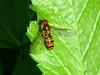 Episyrphus balteatus Marmalade Hoverfly (cawthraw) Tags: episyrphusbalteatus marmaladehoverfly bishopsteignton devon