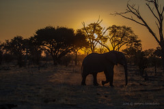 2016 06 25 @khway-2672 (- Stefano Benedetto -) Tags: khwaing18reserve botswana africa loxodontaafricana elephant sunset nature wildnature
