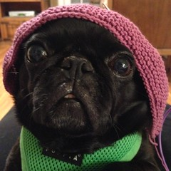 Lily Tries on a Hat (aimeedars) Tags: rescuepug rescuedog dogsinhats humorous lol funny pug blackpug lily