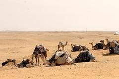 Desierto (brendawunsche) Tags: camel desierto egipto egypt cairo el camellos cultura viaje trip culture