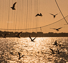 The dance of the seagulls (Robyn Hooz) Tags: gabbiani reti sottomarina bilancione danza dance ali wings gold tramonto oro net seagulls mare sea italy venezia chioggia
