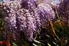Wistaria blossom (Val in Sydney) Tags: wisteria festival australie australia nsw parramatta park cumberland hospital flower