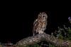 Penny for them? 750_0726.jpg (Mobile Lynn) Tags: birds tawnyowl wild owls nature bird fauna strigiformes strixaluco wildlife nocturnal otterbourne england unitedkingdom gb coth specanimal ngc coth5 sunrays5 npc