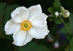 Garden Beauty (Eleanor (No multiple invites please)) Tags: japaneseanemone whiteflower buds garden stanmore uk nikond7200 august2017 spotmeter 105mmmacrolens