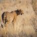 Cheetah at the Namib Carnivore Conservation Centre