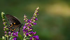Covered in pollen... (knoxnc) Tags: butterflybush bokeh summer closeup outside butterfly nature sunlight nikon specanimal