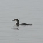 Loon - Montauk - Winter thumbnail