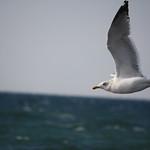 Sea Gull thumbnail