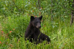 Who's That Bear on the Other Side? (MIKOFOX ⌘ Thanks 4 Your Faves!) Tags: cassiarhwy june learnfromexif canada provia grass xt2 mikofox cassiar britishcolumbia bear dandelion blackbear bc fujifilmxt2 showyourexif spring columbine mammal xf18135mmf3556rlmoiswr animal