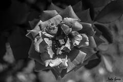 Texturas grises (Jotha Garcia) Tags: flor flower rosa rose naturaleza nature bokeh blancoynegro blackwhite unmundoenblancoynegro plant planta texturasgrises 2017 agosto august verano summer jothagarcia nikkor180550mmf3556 nikond3200 texture