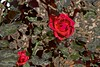 Abstracted Spring Roses (maginoz1) Tags: abstract art roses red white yellow alisterclarkmemorialgarden bulla melbourne victoria australia spring october 2017 manipulation curves canon d100 g16