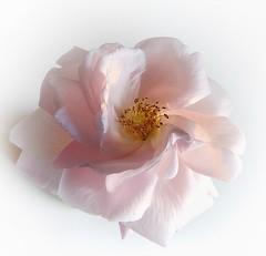 Delight (Mazzlo) Tags: macromonday sidelit rose pink pastel delight delicate panasonic fz150 mazzlo maureenlong