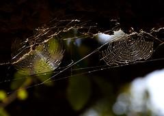 Two lives together (Raquel Borrrero) Tags: araña telaraña bosque spiderweb spider luz light naturaleza nature arbol tree naturephotography tela de animal