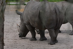 Tampa, FL - Lowry Park Zoo - Savanna Reserve - White Rhino (jrozwado) Tags: northamerica usa florida tampa zoo lowrypark savannareserve africa rhino rhinoceros