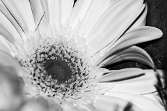 (ErrorByPixel) Tags: flower nature closeup 10028 pentaxk5 pentax k5 errorbypixel handheld flora bnw bw monochrome black white smcpentaxdfamacro100mmf28wr smc pentaxd fa macro 100mm f28 wr pentaxart