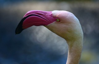 Flamingo - Phoenicopteridae
