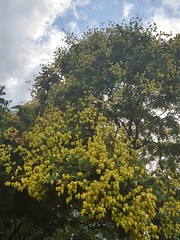 Koelreuteria paniculata (Iggy Y) Tags: koelreuteriapaniculata koelreuteria paniculata summer blossom plant nature tree green berry kelreuterija goldenrain goldenraintree leaves day light blue sky white cloud
