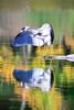 CHECKING THE PIT (Bill Vrtar Photo) Tags: millcreekpark lilypond boardman ohio vrtarsmugmugcom heron blueheron