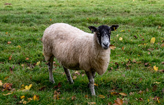 20171015-IMGP0810 (rob mulf) Tags: nymans closeup sheep pentax westsussex greatbritian england outdoors nature