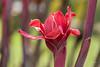 Pink Flower (_aires_) Tags: aires iris flower exotic vibrant canoneos5dmarkiii canonef100mmf28lmacroisusm tambopatanationalreserve reservanacionaldetambopata amazonbasin madrededios madredediósperú