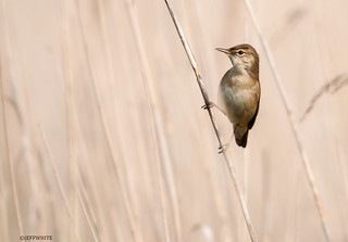 warbler in the reeds