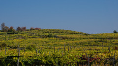 Rolling vineyards (andbog) Tags: caluso piemonte piedmont collina hill viti landscape paesaggio torino turin to canavese it lives sony alpha ilce a6000 sonya6000 emount mirrorless csc sonya sonyα sonyalpha italy italia sony⍺6000 sonyilce6000 sonyalpha6000 ⍺6000 ilce6000 natura nature apsc autumn autunno fall widescreen 169 16x9 oss 1650mm selp1650 sel hills colline vigneti vineyards