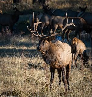 Busy Bull Elk