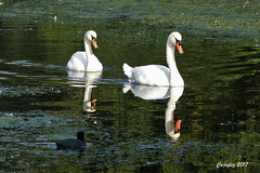 Beautiful and elegant. (Cajaflez) Tags: zwanen swans watervogel waterbird reflections reflecties coth5 ngc npc ruby5 ruby10