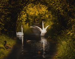 Waltz (Photo Alan) Tags: vancouver canada swan swimming sunset river birds duck light reflection outdoor water