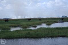 Four Namibian elephants on River Chobe flats. February 1994
