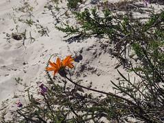 P9160186 West Coast National Park Flowers (Joanna P Dale) Tags: westcoastnationalpark flowers scenery southafrica omdem1 mk1 olympus 35mmzuiko 35mmmacro