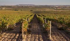 Viñas (misterkoma) Tags: canon 1635 is l usm tripode campo naturaleza 7d ettr viña uva parra otoño autumn verde paisaje landscape hiperfocal alfaro la rioja españa