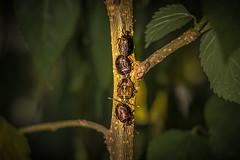 Entre na fila! (edu_dutra) Tags: inseto fila tree bug line