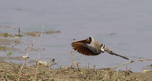 Namaqua Dove leaving Magobe Pool _9309