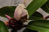 FIORE IN APERTURA.   ----    FLOWER OPENING (Ezio Donati is ) Tags: fiori flowers natura nature foresta forest macro africa costadavorio forestaparcobanco