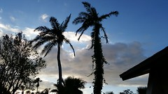 And Then There Were Two (Michel Curi) Tags: trees palmtree palms two sky clouds dusk nature landscape florida lovefl pinellasirma hurricane irma hurricaneirma couple