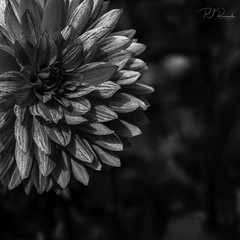 Dahlia #10 (Perry J. Resnick) Tags: 2017 pjresnick perryjresnick seattle pjresnickgmailcom pjresnickphotographygmailcom ©2017pjresnick ©pjresnick nature light fuji fujifilm noir atmosphere atmospheric digital shadow texture shadows wa washington angle perspective naturallight xf fujinon resnick soft design plant depthoffield black fujixpro2 xpro2 bokeh blur blurry rectangle rectangular outdoor 56mm fujinon56mmf12 56mmf12 foliage leaf flower garden volunteerpark dahlia square squareformat monochrome monochromatic blackwhite bw