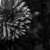 Dahlia #10 (Perry J. Resnick) Tags: 2017 pjresnick perryjresnick seattle pjresnickgmailcom pjresnickphotographygmailcom ©2017pjresnick ©pjresnick nature light fuji fujifilm noir atmosphere atmospheric digital shadow texture shadows wa washington angle perspective naturallight xf fujinon resnick soft design plant depthoffield black fujixpro2 xpro2 bokeh blur blurry outdoor 56mm fujinon56mmf12 56mmf12 foliage leaf flower garden volunteerpark dahlia square squareformat monochrome monochromatic blackwhite bw