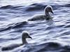 Swimming Ugly Ducklings (JKYChang) Tags: birdography albertparklake cygnets springtimefun