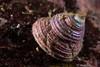 Iridescence (jonmcclintock) Tags: underwater sunshinecoast travel britishcolumbia canada adventure scuba diving strongwater