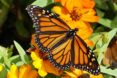 Finally... (Jim Atkins Sr) Tags: danausplexippus monarchbutterfly milkweed commontiger wanderer blackveinedbrown