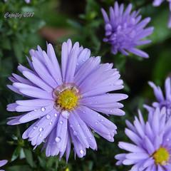 Asters - Herfstasters (Cajaflez) Tags: herfstaster bloem blume fleur purple paars regendruppels raindrops asteraceae aster composietenfamilie ngc coth5 ruby10