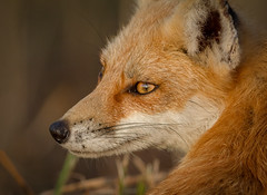 Whats over there? (tresed47) Tags: 2017 201709sep 20170921bombayhookbirds animals bombayhook canon7d content delaware folder fox peterscamera petersphotos places season september summer takenby us