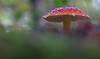 Amanita 2 (jttoivonen) Tags: nature mushroom outdoors detail closeup finland creativecommons bokeh autumn red
