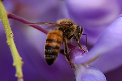 Wisteria Honey Bee (bevanwalker) Tags: pollen nectar flowers lilac plant wisteria 105mm f28 nikon 750 closeup spring