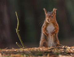 Red Squirrel (ukmjk) Tags: red squirrel formby nikon nikkor d500 300mm f4 pf